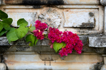 bougainvillea One Day